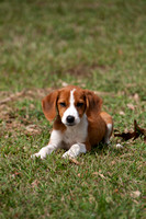 Small brown puppy relaxing in green grass.